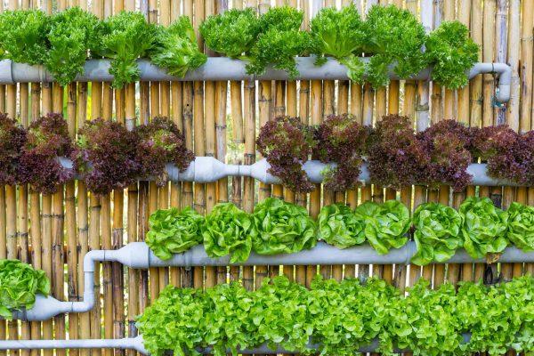 cách trồng rau cải tại vườn nhà
