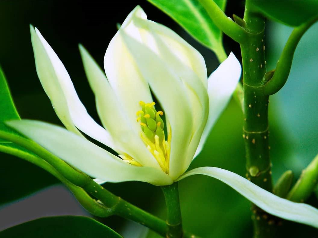 Hoa của cây ngọc lan
